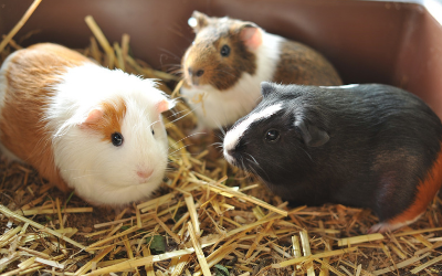 image for March is Adopt a Guinea Pig Month!
